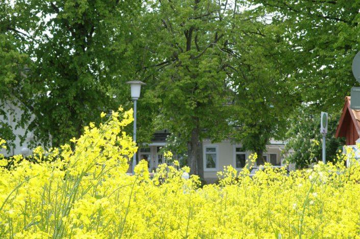 Rapsblüte in Grömitz